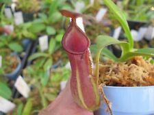 Carnivorous Nepenthes Hybrid Spathulata x Tobaica Be3794Tropical Scarce W03