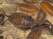 12+ Porcellio Scaber 'Red Calico' Isopods