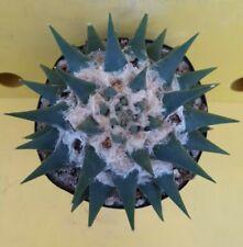 Ariocarpus trigonus elongatus SPECIAL amazing GYANT MOTHER OWN ROOT copiapoa