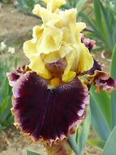 tall bearded iris Crowns for credit