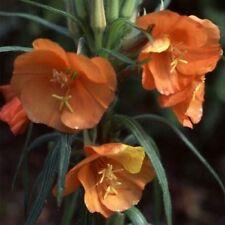 8 X Large Plug Plants Oenothera 'Sunset Boulevard' Hardy Perennial