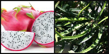 "(1) Cutting ~White Flesh~ Dragon Fruit Plant Vine Tree Pitahaya Hylocereus 8"""