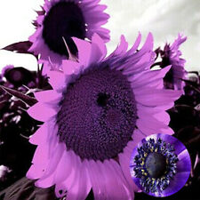 Sunflower Purple Economy Pack Giant 100 Seeds Flower Purple Sunflower Giant