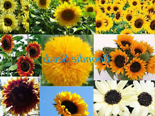 SUNFLOWER 'Mix' 150 seeds BULK PACK flower garden spring summer EASY TO GROW