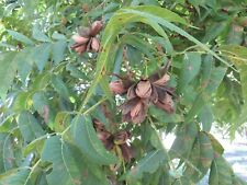 10 Pounds Organic In-shell NM Heirloom Pecans, Mountain Spring Water Irrigation!
