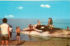 Cutting in a Stranded Whale Cape Cod National Seashore Massachusetts Postcard