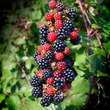 Blackberry - Rubus Fruticosus - 1 pkt of 25 seeds. Healthy native fruit berries.