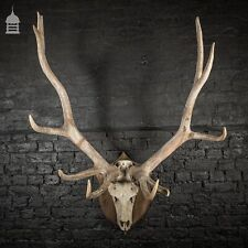 More details for monumental set of rowland ward mounted wapiti elk antlers