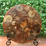Natural Ammonite Disc Fossil Conch Specimen Healing +Stand 1PC 100g+
