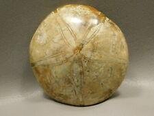 Natural Sand Dollar Fossil Sea Urchin Jurassic Clypeasteroida #4