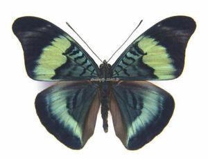 Unmounted Butterfly / Nymphalidae - Panacea prola amazonica, male, Peru