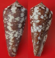 Seashells  Conus thomae  54mm  GEM  Cone Shell  St. Thomas Cone  Marine Specimen