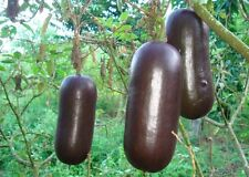Sicana odorifera 'chocolate', Sikana, Cassabanana, Musk Cucumber, 10 Samen