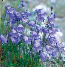 Wild Flower (British) - Harebell - Campanula rotundifolia - 750 Seeds