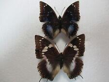 Entomologie Nymphalidae Charaxes xiphares nguru Rare Cpl. Tanzanie-Kombola Nguru