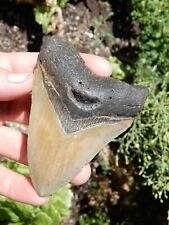 NICE DEFINED 4 INCH FOSSIL MAGALODON SHARK TOOTH