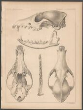18550s Lithograph Print of Mammal Skulls from the Pacific Railroad Survey