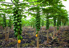Dwarf Solo Papaya Tree! 10 Seeds! Small fruit! PERFECT FOR GROWING IN POTS!
