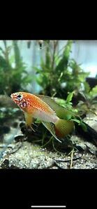 1 Young Pair Apistogramma Macmasteri Gold Super Red Shoulder Live Tropical Fish