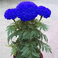 200Pcs Blue Marigold Maidenhair Seeds Edible Flower Garden Chrysanthemum Plant