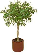 100+ FICUS TREE Bodhi Sacred Fig Ficus Religiosa Seeds T-044   COmbo S/H 3+1free