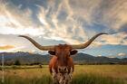 Framed canvas art print giclee Texas Longhorn Steer in a sunset field cow