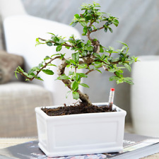 Bonsai Chinese Elm Plant - Live Japanese 'S-Shape' Indoor Tree 1 x 15cm Tray Pot