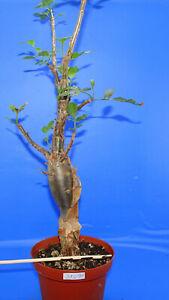 31098Bursera fagaroides (Fragrant Elephant Tree), phyto available