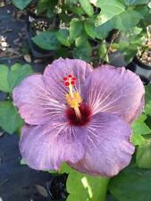 """Blueberry"" PURPLE Tropical Exotic Hibiscus Plant Rosa Sinensis"