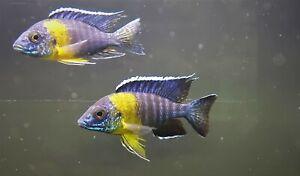 MALAWI CICHLID, MAULANA PEACOCK, 4-5inch, males only