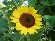 Sunflower Tiffany 15 seeds