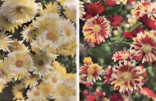 HYERES 6 chrysanthèmes Paul Tatu Virosa & Jor
