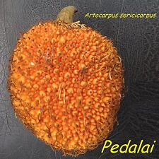 ~PEDALAI~ Artocarpus sericicarpus the HOLY GRAIL of BORNEO FRUITS Live Sml Plant
