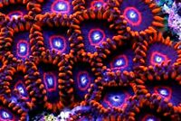 MMC Live coral Red Hornets 2-3 Zoanthid polyps Zoa Zoas