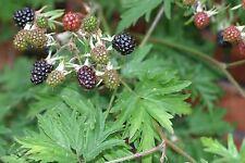 Rubus Ludwigii - Silver Bramble Fruit - VERY Rare Tropical Plant Shrub Seeds (5)