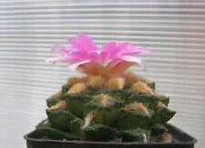 Ariocarpus scapharostrus X agavoides F2  25 seeds
