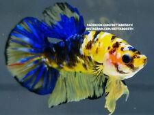 New listing (LimitedOffer!) Premium Live Betta Fish l Male Yellow Galaxy Plakat
