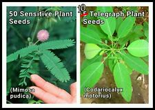 25 Sensitive Plant +10 Telegraph Seeds ~ Mimosa pudica +Codariocalyx (Desmodium)