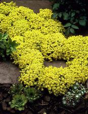 50 seeds of Sedum Acre Golden Carpet, Yellow Stonecrop ground wall cover Flowers