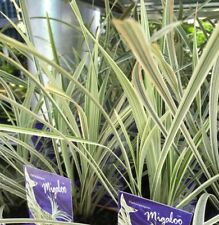 2 x MIGALOO MONDO Ophiopogon Variegated Native White Strappy Grass plants 100mm
