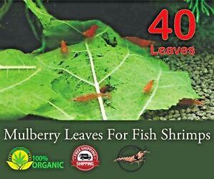 40 Dried Leaves Natural MULBERRY Leaf Shrimp Food Tannins Aquarium Fish Tank