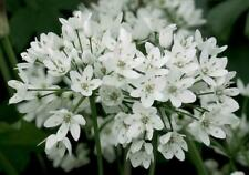 Allium karataviense x 30 ampoules Superbe au printemps Pretty Blanc globe