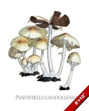 MUSHROOM CANDOLLEANA PLANT FUNGI ILLUSTRATION PAINTING ART REAL CANVAS PRINT