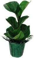 "Ficus Fiddleleaf Fig Tree Great Indoor Tree 4"" Pot Decorative Cover Houseplant"