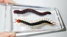 Centipede & Millipede Specimen Set in Clear Lucite Block Education Aid