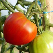 graine de tomate cuor di bue ou cœur de bœuf vendu en sachet de 30 graines