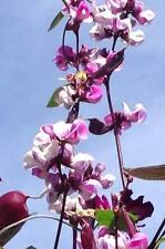 10 HYACINTH BEAN Lablab Purpureus Blue Purple White Flower Ornamental Vine Seeds