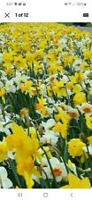 20 Mixed assorted Daffodil Narcissus, white,Yellow,  bicolor, etc, Bulbs