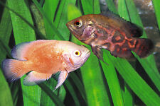 "x10 ASSORTED OSCAR FISH SM/MD 2""-3"" EACH - FRESHWATER LIVE FISH *FREE SHIPPING"