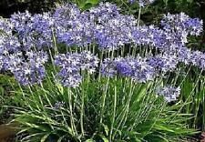 Blue Agapanthus Perennial Summer Flowering XXL Supersize Plug Plants Pack x3